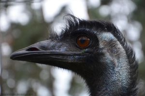 Emu by Himmelsfalter
