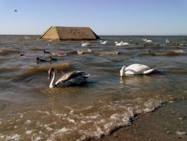 Swans and drakes by Dorian-Gray7