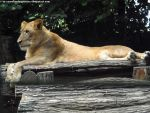 Lioness 2 by Cansounofargentina