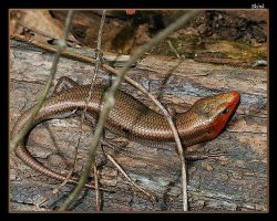 Red Faced Skink by boron