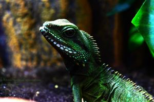 Curious Chinese Water Dragon by ObscureHuntsman