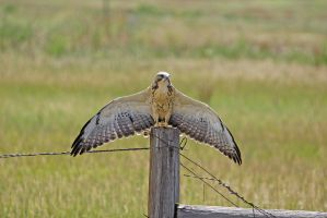 Swainson hawk on pole by wildfotog