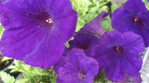 Purple Petunia Stock by RX-stock