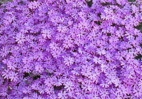 Creeping Phlox in Violet by WDWParksGal