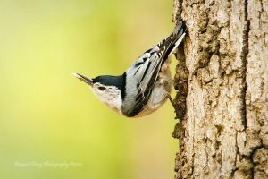 White Breasted Nuthatch by RHCheng
