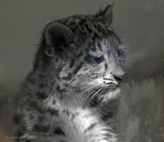 Baby Snow Leopard by ericthom57