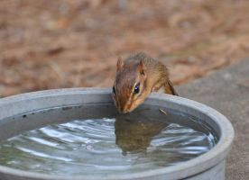 Chippy enjoys some H2O by Tailgun2009