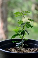 Texas Ebony Seedling Runt by lamorth-the-seeker