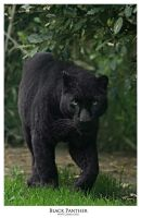Black Panther by 3mmI