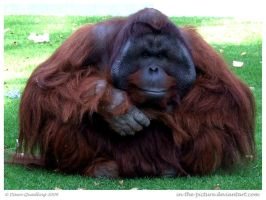 Handsome Orang by In-the-picture