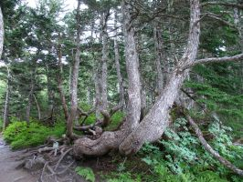 Knotty Tree 1 by sullenstock