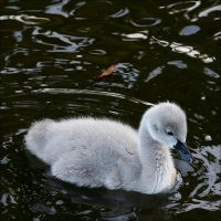 Black Swan Baby by thrumyeye