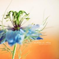 Love In A Mist ... by kim-e-sens