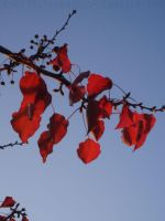 Red Leaves by ZioCorvid