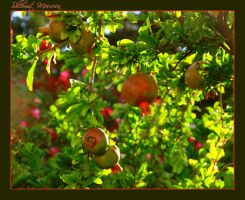 Pomegranate fruits by ShlomitMessica