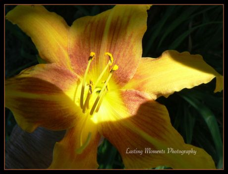 Golden Lilly by LastingMomentsPhotos