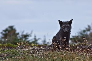 Young Black Fox in the Wild 11 by Witch-Dr-Tim