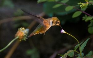 Hummingbird by nigel3