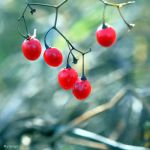 Ces Petits Fruits Rouges IV by hyneige