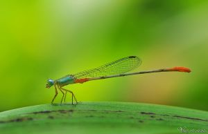 Damselfly by AlHabshi