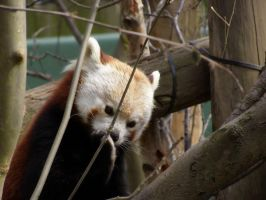 Red Panda 2 by Cilmeron