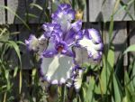 I think it is an Iris by BitterSweetBarb