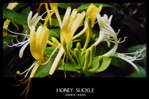 Honey Suckle by jenheinser