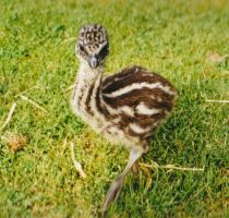 Eddie emu chick by Reptangle