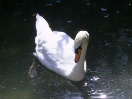 Cisne blanco by Urbinator17