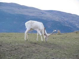 White Deer 3 by wildthyme-stock