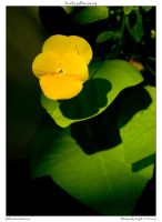 lonely yellow pansy by yellowcaseartist