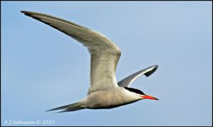 Tern Fly past by andy-j-s