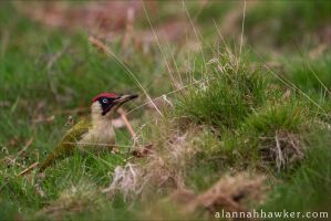 Green Woodpecker by Alannah-Hawker