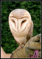 barn owl by mailia