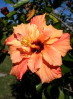Orange Hibiscus by Phillysoul11