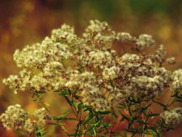 The Queen's Lace by Ancient-Hoofbeats