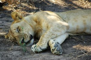 Lion Taking a Nap by CunisiaInc
