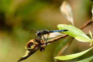 Dragonfly by 2753Productions