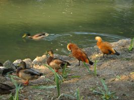 lake with  gooses 2 by spooky-dream