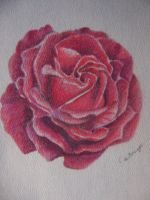 Pastel Rose by Caz-Art