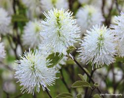 Fothergilla in Spring by GlassHouse-1