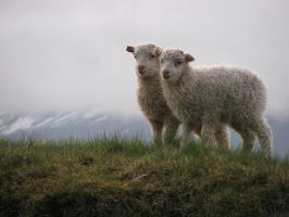 Icelandic Lambs by Callego