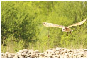 Barn owl in flight by kpadda