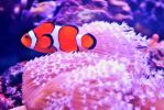 Clownfish by whytheface92