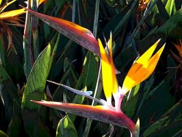 Bird of Paradise tweeked by stlcrazy