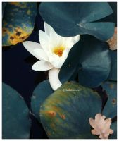 Madonna water-lily by LolaCraven