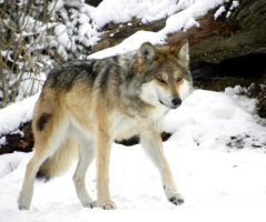 Mexican Gray Wolf by soyrwoo