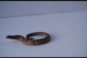 Baby Hognose 6 by FearBeforeValor