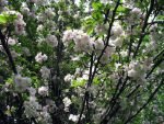 apple blossoms by elfme