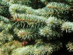 Pine Tree Boughs at Christmas by SweetSoulSister